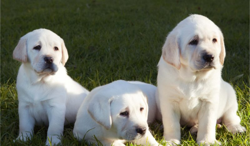 Guide Dogs is recruiting for the best job in the world!