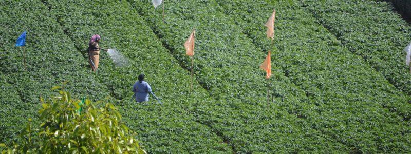 SRI LANKA: EVERYONE'S CUP OF TEA